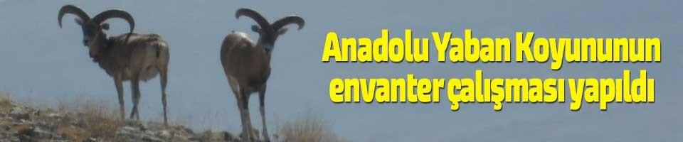 ANADOLU YABAN KOYUNUNUN ENVANTER ÇALIŞMASI YAPILDI